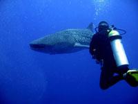 Whaleshark-Belize-200