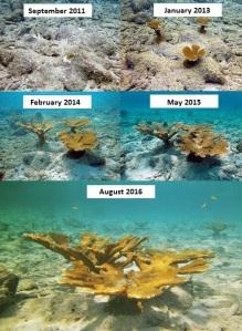 Transplanted corals 2011 - 2016
